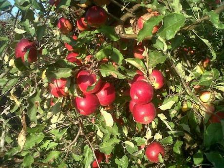 Si anul acesta toate merele au fost cumparate
